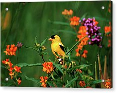 American Goldfinch (carduelis Tristis Acrylic Print