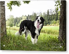 Border Collie In The Nature Acrylic Print