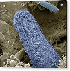 Ciliate Protozoan Sem Acrylic Print by Steve Gschmeissner