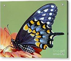 Eastern Black Swallowtail Butterfly Acrylic Print by Millard H. Sharp