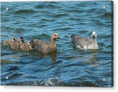Falkland Islands, Bleaker Island Acrylic Print