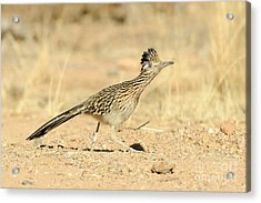 Greater Roadrunner Acrylic Print by Scott Linstead