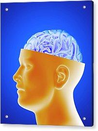 Human Brain Acrylic Print by Alfred Pasieka/science Photo Library