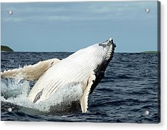 Humpback Whale Acrylic Print by Christopher Swann/science Photo Library