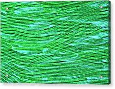 Oscillatoria Cyanobacteria Acrylic Print by Marek Mis