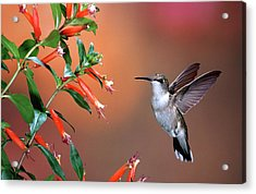 Ruby-throated Hummingbird (archilochus Acrylic Print by Richard and Susan Day