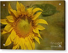 Sunflower Acrylic Print by Cindi Ressler