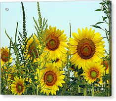 Sunflower Series Acrylic Print by Amanda Barcon