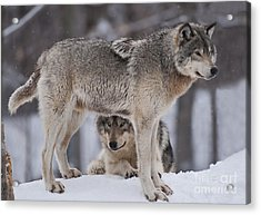Timber Wolves  Acrylic Print by Wolves Only