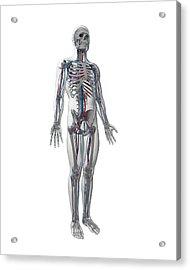 Human Vascular System Acrylic Print by Sebastian Kaulitzki
