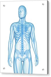 Human Skeletal System Acrylic Print by Sebastian Kaulitzki