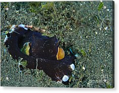 A Coconut Octopus, Lembeh Strait Acrylic Print by Steve Jones