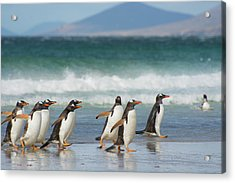 Falkland Islands Acrylic Print by Inger Hogstrom
