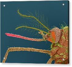 Female Asian Tiger Mosquito Acrylic Print by Dennis Kunkel Microscopy/science Photo Library