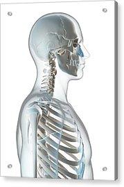 Human Skull And Neck Acrylic Print by Sebastian Kaulitzki