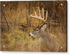 12 Point White-tail Acrylic Print by Larry Bohlin