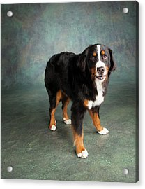 Portrait Of Bernese Mountain Dog Acrylic Print