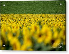 Sunflowers Acrylic Print by Bernard Jaubert