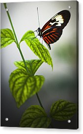 Butterfly Acrylic Print by Bradley R Youngberg