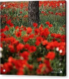 Field Of Poppies Acrylic Print by Bernard Jaubert