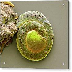 Foraminiferan Acrylic Print