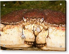 Jonah Crab Acrylic Print