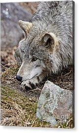Timber Wolf Acrylic Print by Wolves Only