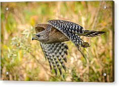 Red Shouldered Hawk Acrylic Print