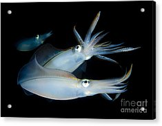 Bigfin Reef Squid Tending Eggs Acrylic Print by Steve Jones