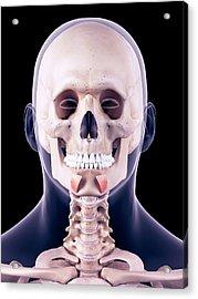 Facial Muscles Acrylic Print by Sebastian Kaulitzki/science Photo Library