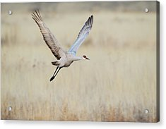 Sandhill Crane (grus Canadensis Acrylic Print by Larry Ditto