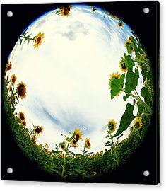 Sunflowers Acrylic Print by Falko Follert