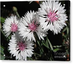 Bachelor Button From The Frosted Queen Mix Acrylic Print