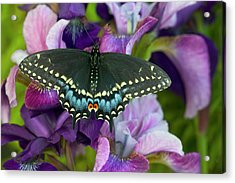 Black Swallowtail Butterfly, Papilio Acrylic Print by Darrell Gulin