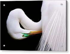 Great White Egret Acrylic Print by Paulette Thomas