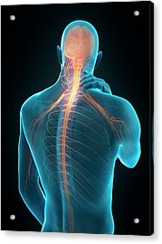 Human Neck Pain Acrylic Print by Sebastian Kaulitzki/science Photo Library