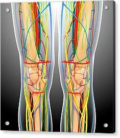 Knee Anatomy Acrylic Print by Pixologicstudio/science Photo Library