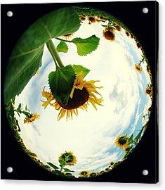 Sunflowers Acrylic Print by Falko Follert
