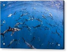 151 Silky Sharks Acrylic Print