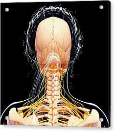 Female Nervous System Acrylic Print by Pixologicstudio/science Photo Library