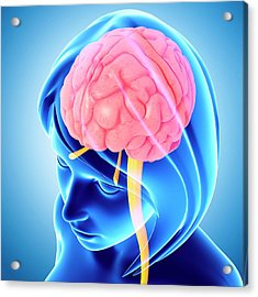 Female Brain Acrylic Print by Pixologicstudio/science Photo Library