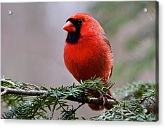 Northern Cardinal Male Acrylic Print by Dan Ferrin