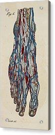 Anatomical Drawing Acrylic Print