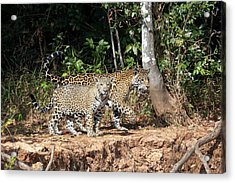 Brazil, Mato Grosso, The Pantanal, Rio Acrylic Print