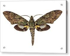 Hawk Moth Acrylic Print by F. Martinez Clavel