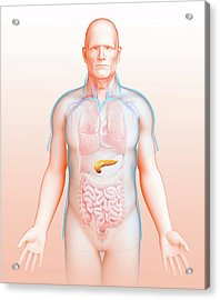 Male Pancreas Acrylic Print by Pixologicstudio/science Photo Library