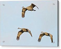 Sandhill Cranes (grus Canadensis Acrylic Print by William Sutton