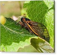 17 Year Cicada 2 Acrylic Print by Lara Ellis
