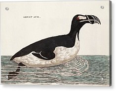 1776 Pennant Swimming Extinct Great Auk Acrylic Print by Paul D Stewart