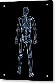 Male Skeleton Acrylic Print by Sciepro/science Photo Library
